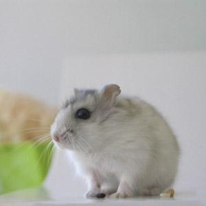 pegamento para ratas